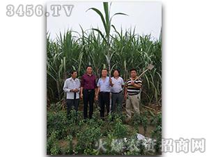 甘蔗种子脆蜜蔗1号-兴旺(图十二)