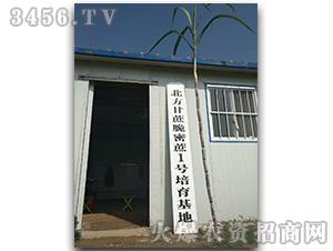 甘蔗种子脆蜜蔗1号-兴旺(图十四)