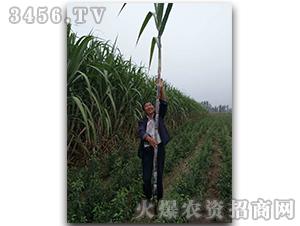 甘蔗种子脆蜜蔗1号-兴旺(图十一)