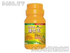 玉米专用型-矮壮王-农煌农业