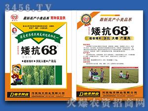 矮抗68-小麦种子-地