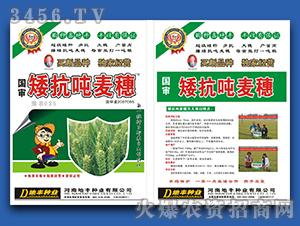 矮抗吨麦穗-小麦种子-地丰种业