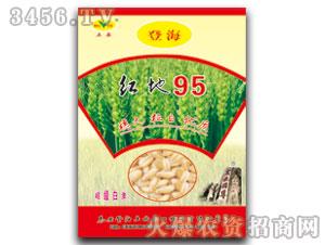 小麦种子-红地95-五岳泰山
