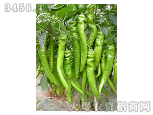 辣椒种子-常胜168-