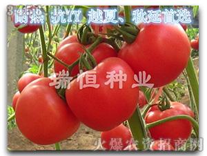 西红柿种子-瑞恒112-瑞恒种业
