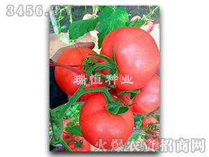 西红柿种子-冬粉108-瑞恒种业