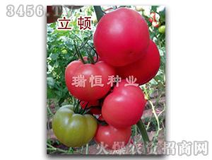 西红柿种子-立顿-瑞恒种业