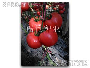 西红柿种子-爱国者-瑞恒种业
