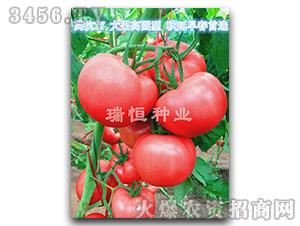 西红柿种子-瑞恒116-瑞恒种业