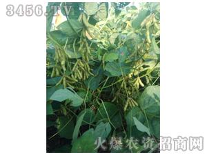 大豆种子-汾豆79-辉耀盈门