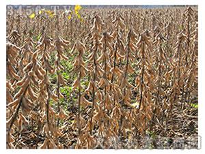 大豆种子-周豆21-地瑞种业