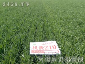 机麦210-小麦-亿佳和