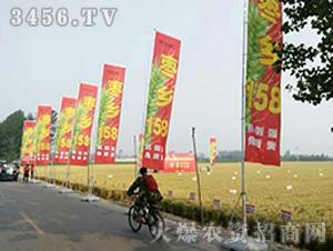 枣乡158小麦种子观摩图1