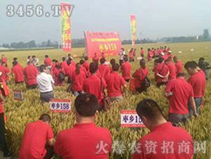 枣乡158小麦种子观摩图2