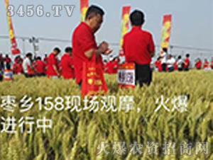 枣乡158小麦种子观摩图3