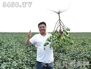 种旺农业棉花观摩会7