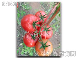 西红柿种子-迅达1号-瑞恒种业