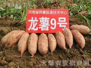 红薯苗-龙薯9号-沃土种业
