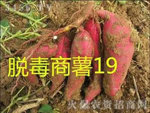 红薯苗-脱毒商薯19-沃土种业