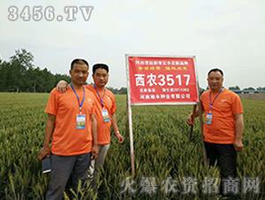 西农3517小麦种子观摩会