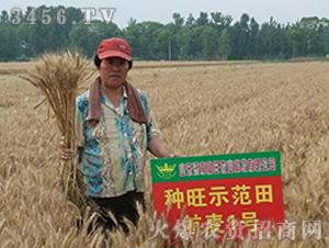 航麦1号-种旺农业试验田1