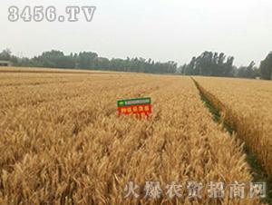航麦1号-种旺农业试验田2