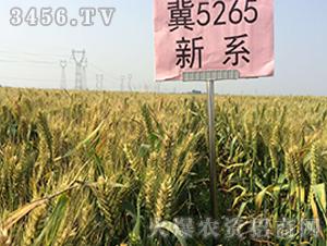 冀5265小麦种子观摩会