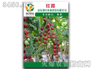 番茄种子-红霞-旭日农