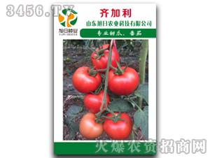 红果番茄种子-齐加利-