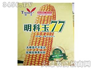 玉米种子-明科玉77-明天种业