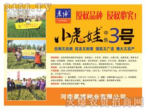 小虎娃中焦3号小麦种子-晨博