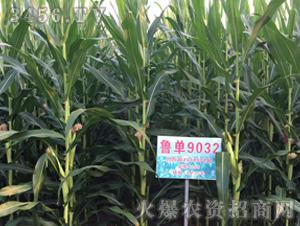 玉米种子-鲁单9032-爱农种业