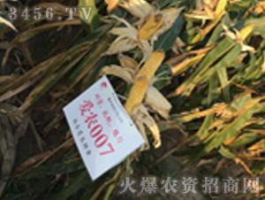 玉米种子-爱农007