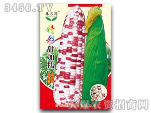 甜糯玉米种-精彩甜加糯