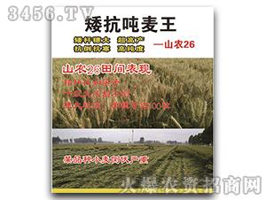 小麦种子-矮抗吨麦王-山农26-恒创种业