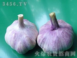 大蒜种子-华农1号-朝