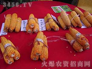 玉米种子-天塔5号-朝晖种业