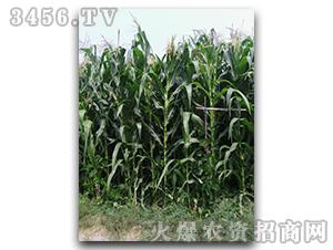 青贮玉米种子-青贮1号-朝晖种业