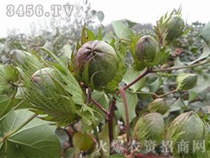 棉花种子-华农10号F1-朝晖种业