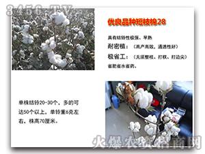 棉花种子-短枝棉28-朝晖种业