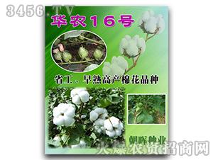 棉花种子-华农16号-朝晖种业