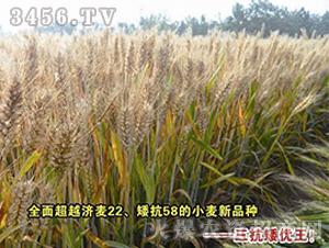 小麦种子-三抗矮优王-朝晖种业
