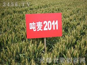 小麦种子-吨麦2011-朝晖种业