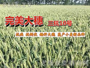 小麦种子-三抗10号-朝晖种业