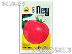 西红柿种子-圣菲-满天红日