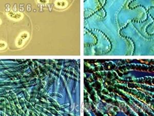 光合细菌-初农生物