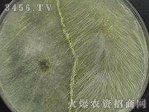 绿色木霉-初农生物