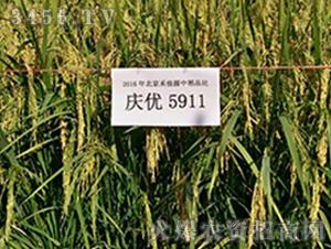 庆优5911-水稻种子-禾佳源