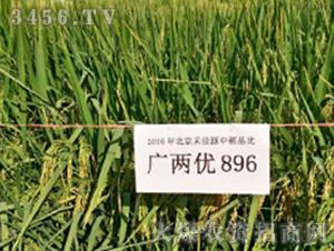 广两优896-水稻种子-禾佳源