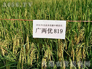 广两优819-水稻种子-禾佳源